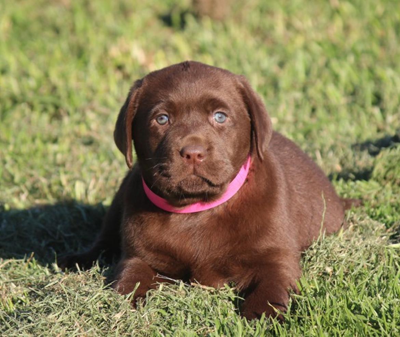 Puppy-1-Yellowdog-Labradors-Labrador-Puppies-for-Sale-Hunter-Valley-Australia-Yellow-Chocolate-Black-Lab-Puppies-1.jpg